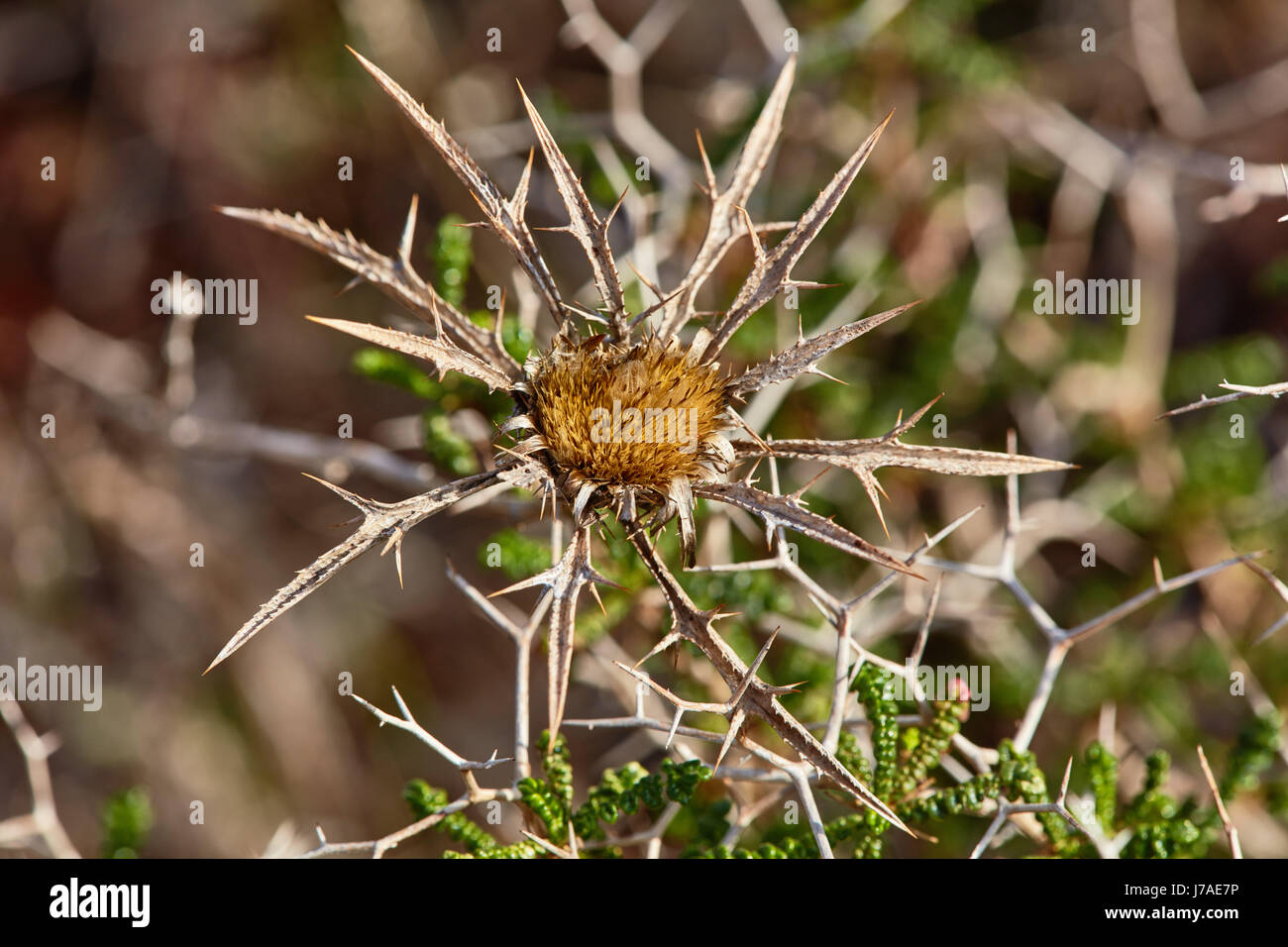 Dry Milk thistle spiked plant in the desert - Stock Image