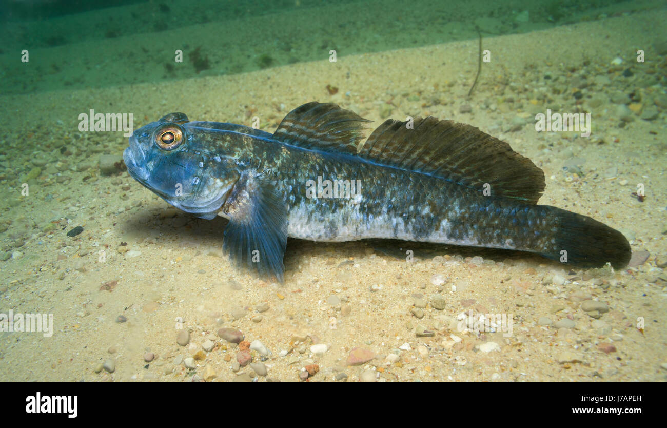 Black goby, Gobius niger. Male on breeding colours. Portugal. - Stock Image