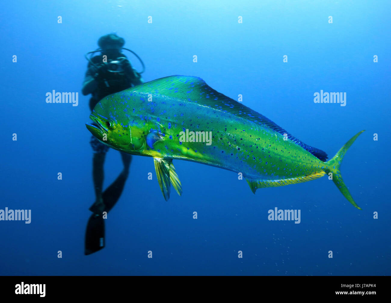 Mahimahi or common dolphinfish coryphaena hippurus with for Dolphin fish pictures