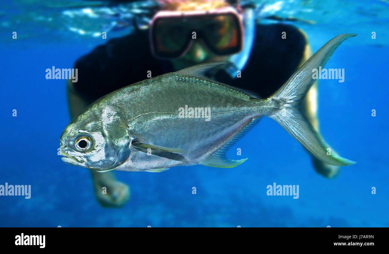 Florida pompano, Trachinotus carolinus. Young fish. Azores.  Portugal - Stock Image