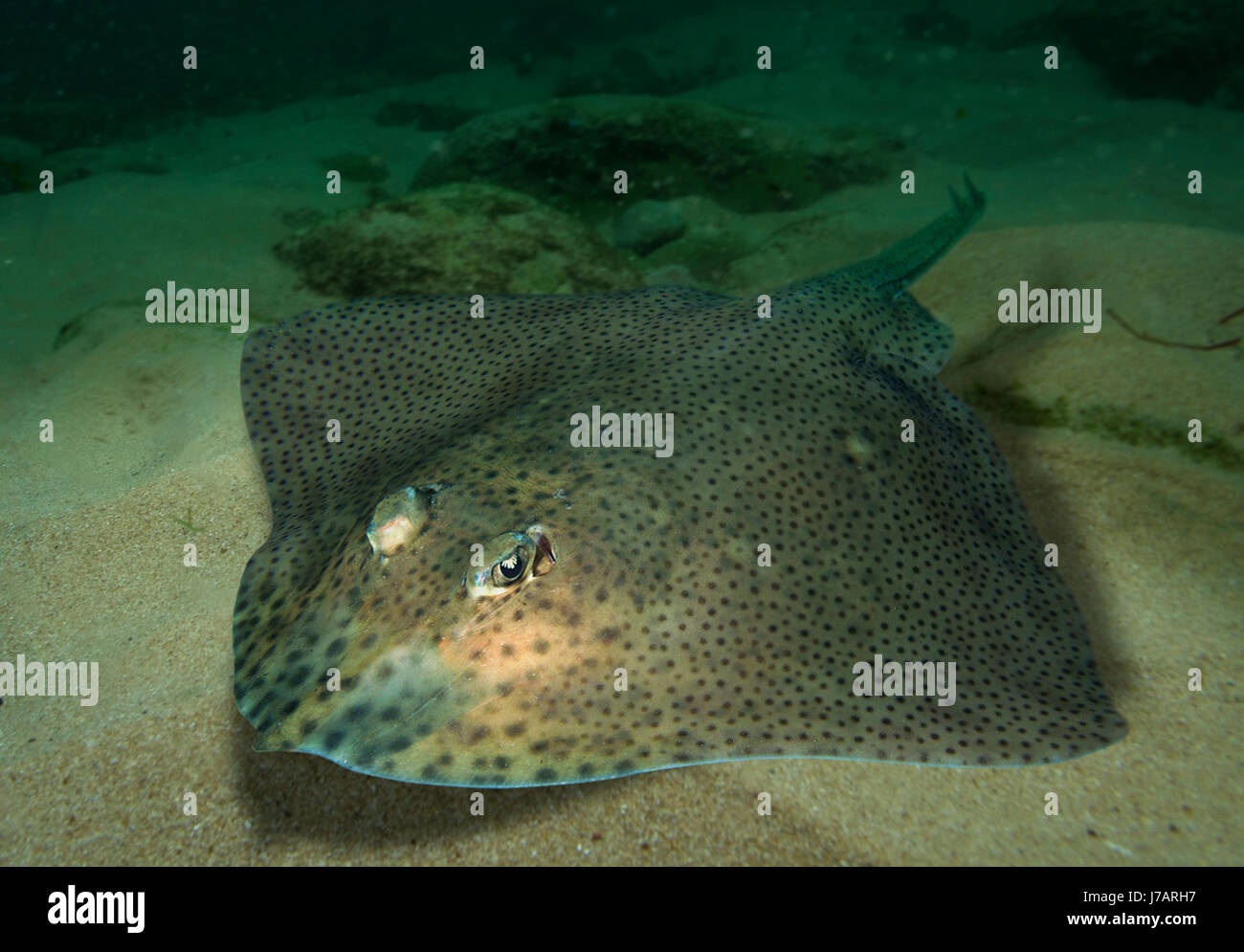 Blonde Ray, Raja brachyura. Portugal - Stock Image