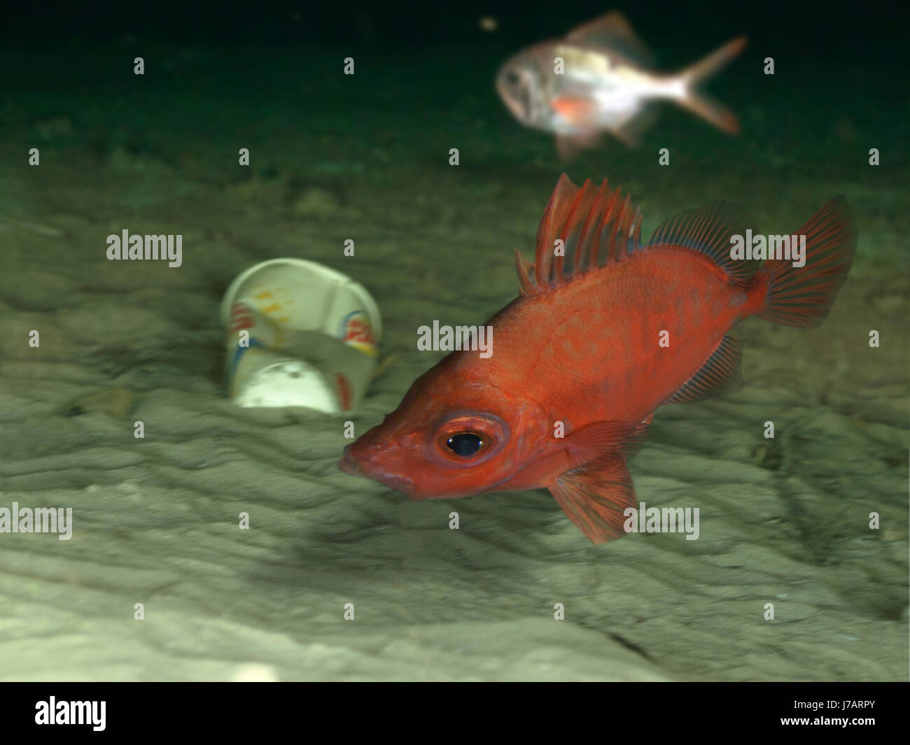 Boarfish, Capros aper with deep sea garbage. Portugal Stock Photo