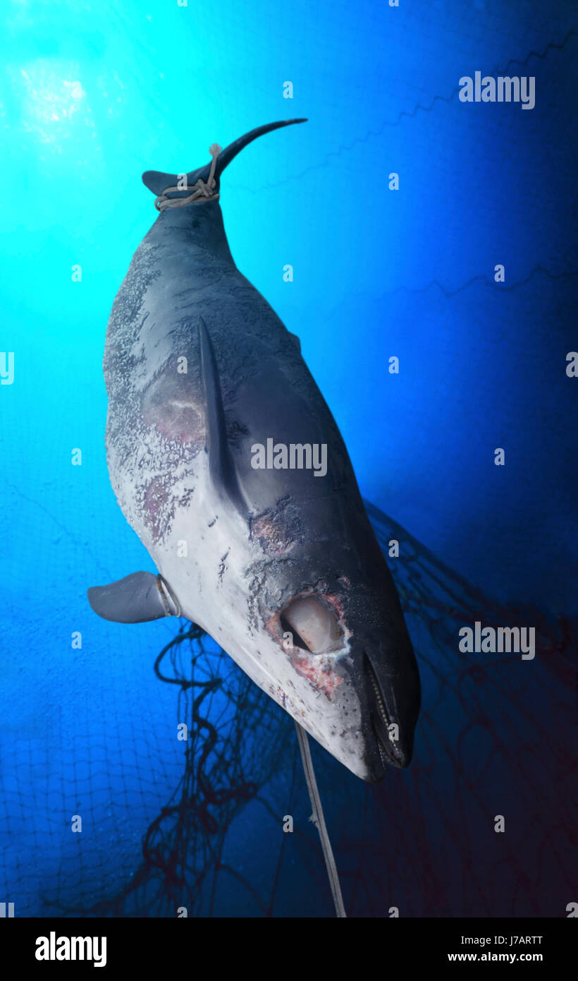 Small whale or dolphin (probably a young Northern bottlenose whale, Hyperoodon ampullatus) entangled in fishing - Stock Image