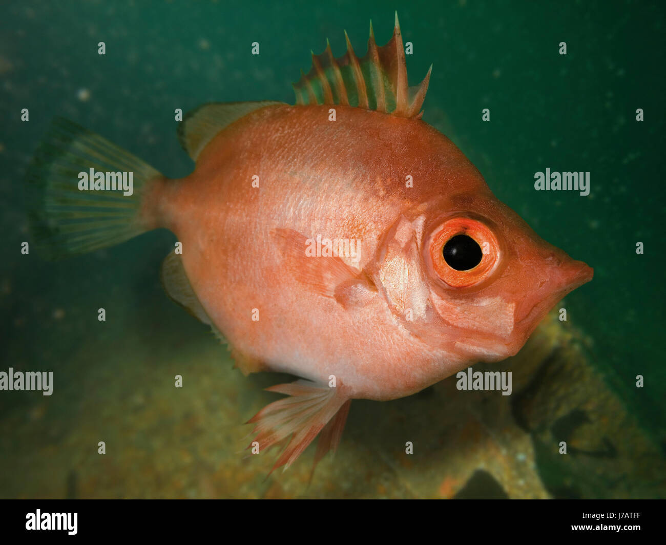 Boarfish, Capros aper. Lateral view on ship wreck. Portugal. Stock Photo
