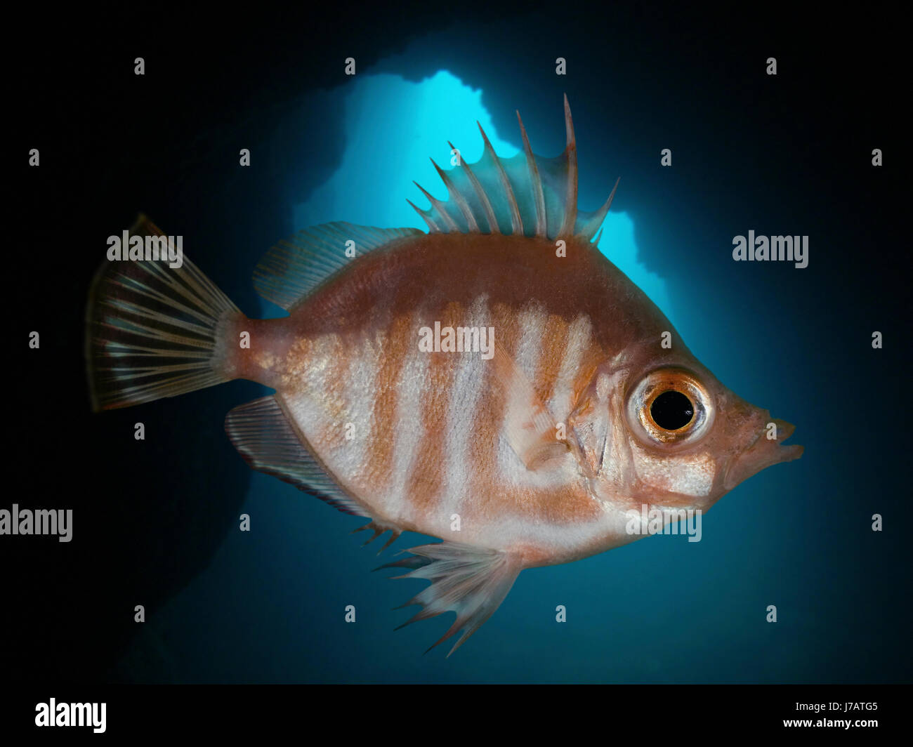Boarfish, Capros aper. Lateral view insiode underwater cave. Portugal. Stock Photo