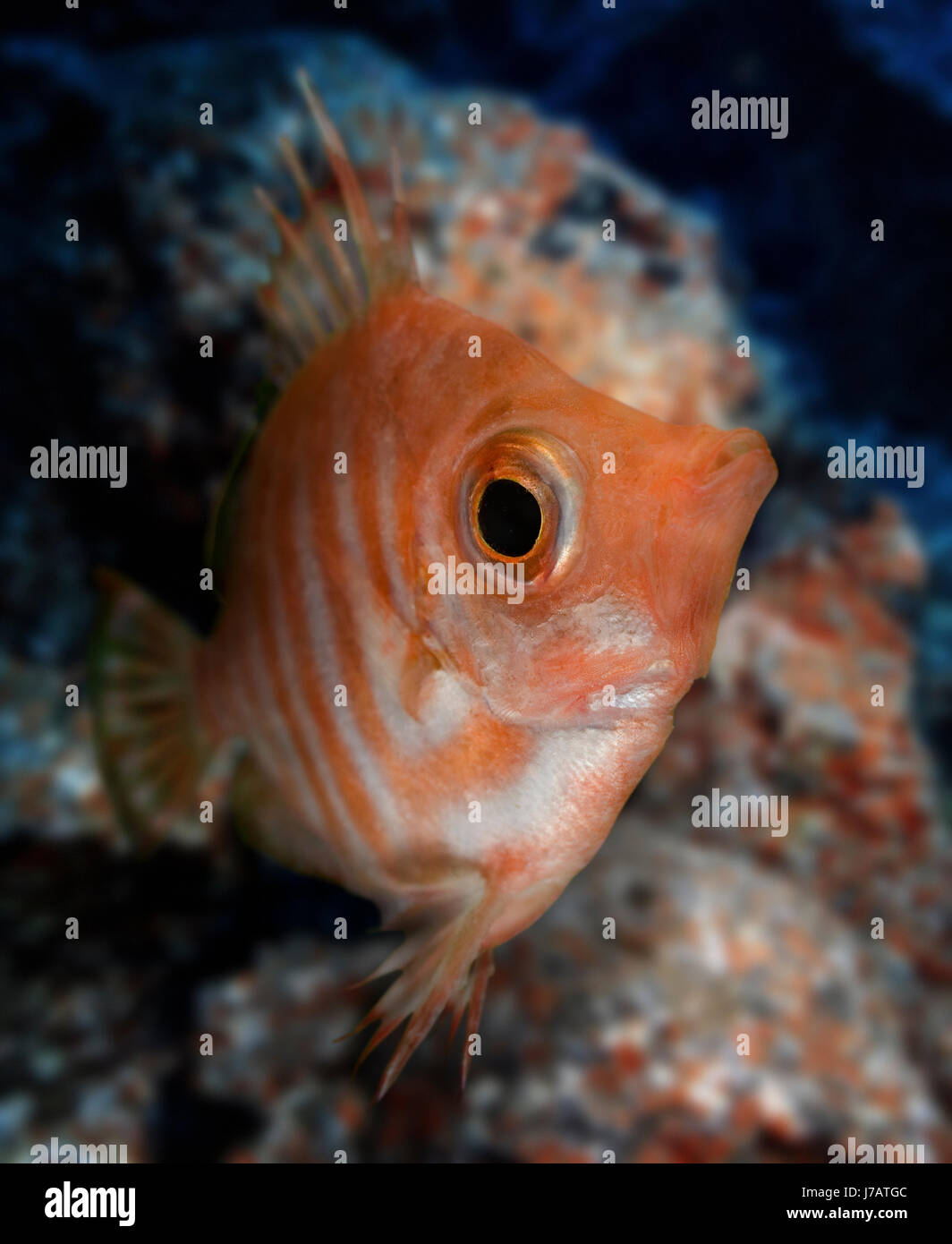 Boarfish, Capros aper. Frontal view. Portugal. Stock Photo