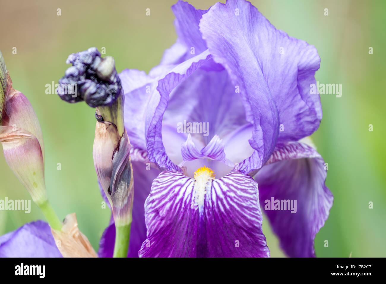 closeup big violet flower - Stock Image