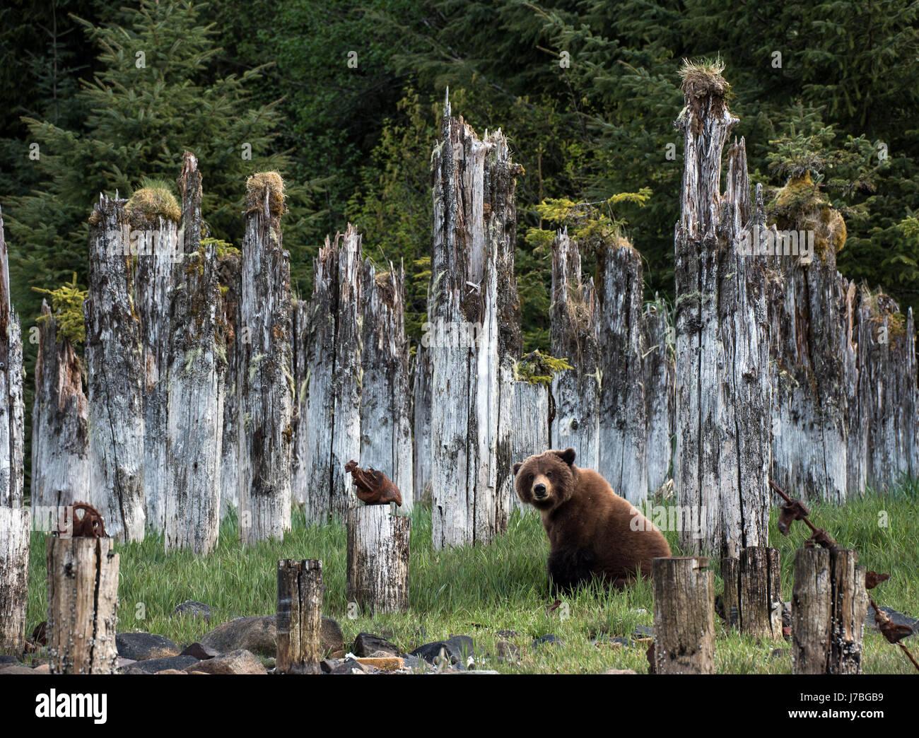 A brown bear sits amongst pilings at Taku Harbor, Alaska - Stock Image