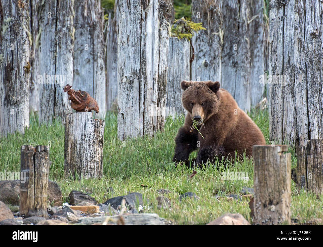 Grizzly Bear eating grass in Southeast Alaska - Stock Image