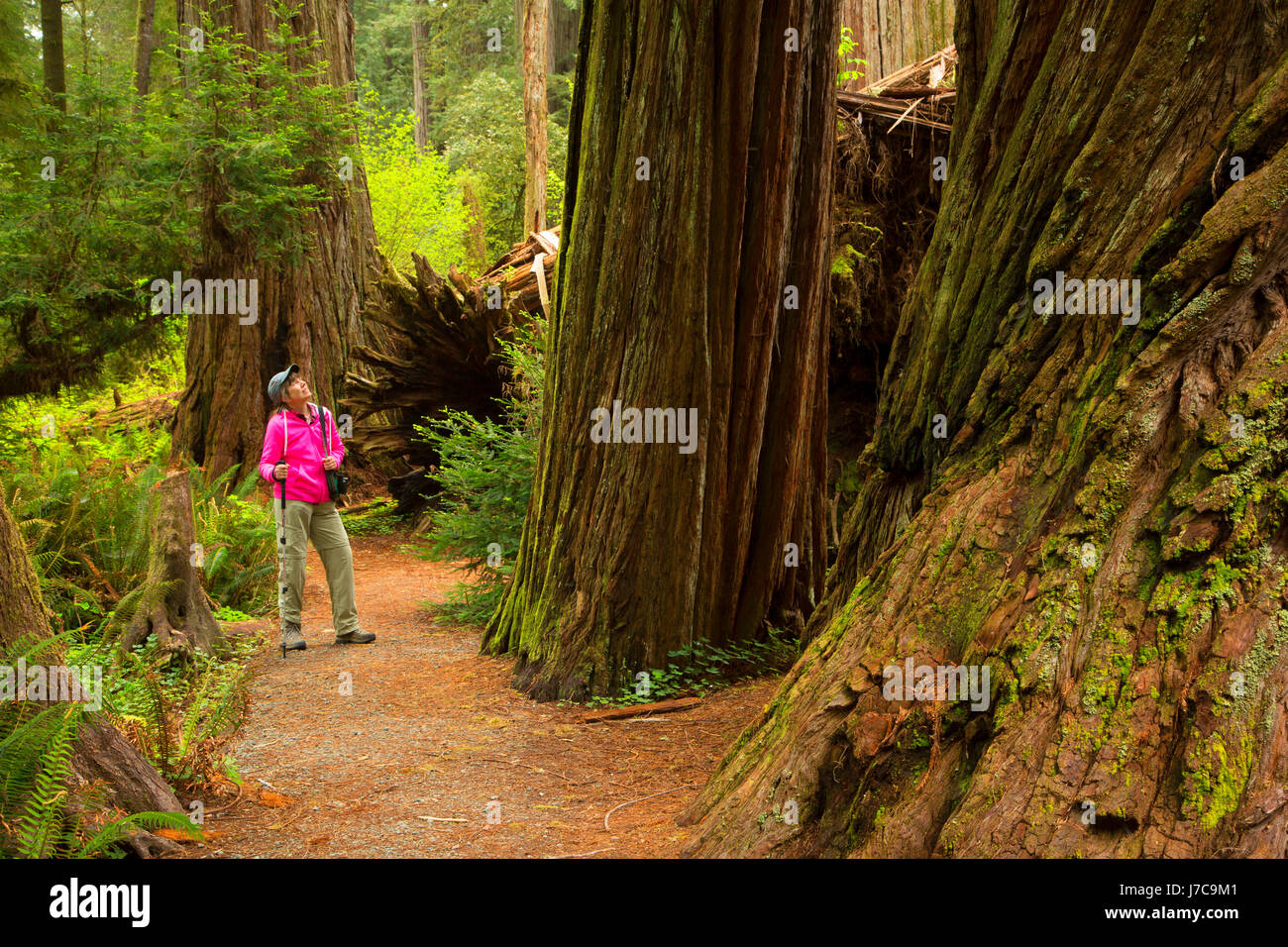 Hiker in Coast redwood forest along Simpson-Reed Discovery Trail, Jedediah Smith Redwoods State Park, Redwood National - Stock Image