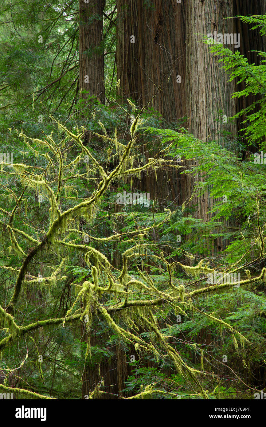 Coast redwood (Sequoia sempervirens) along Simpson-Reed Discovery Trail, Jedediah Smith Redwoods State Park, Redwood - Stock Image