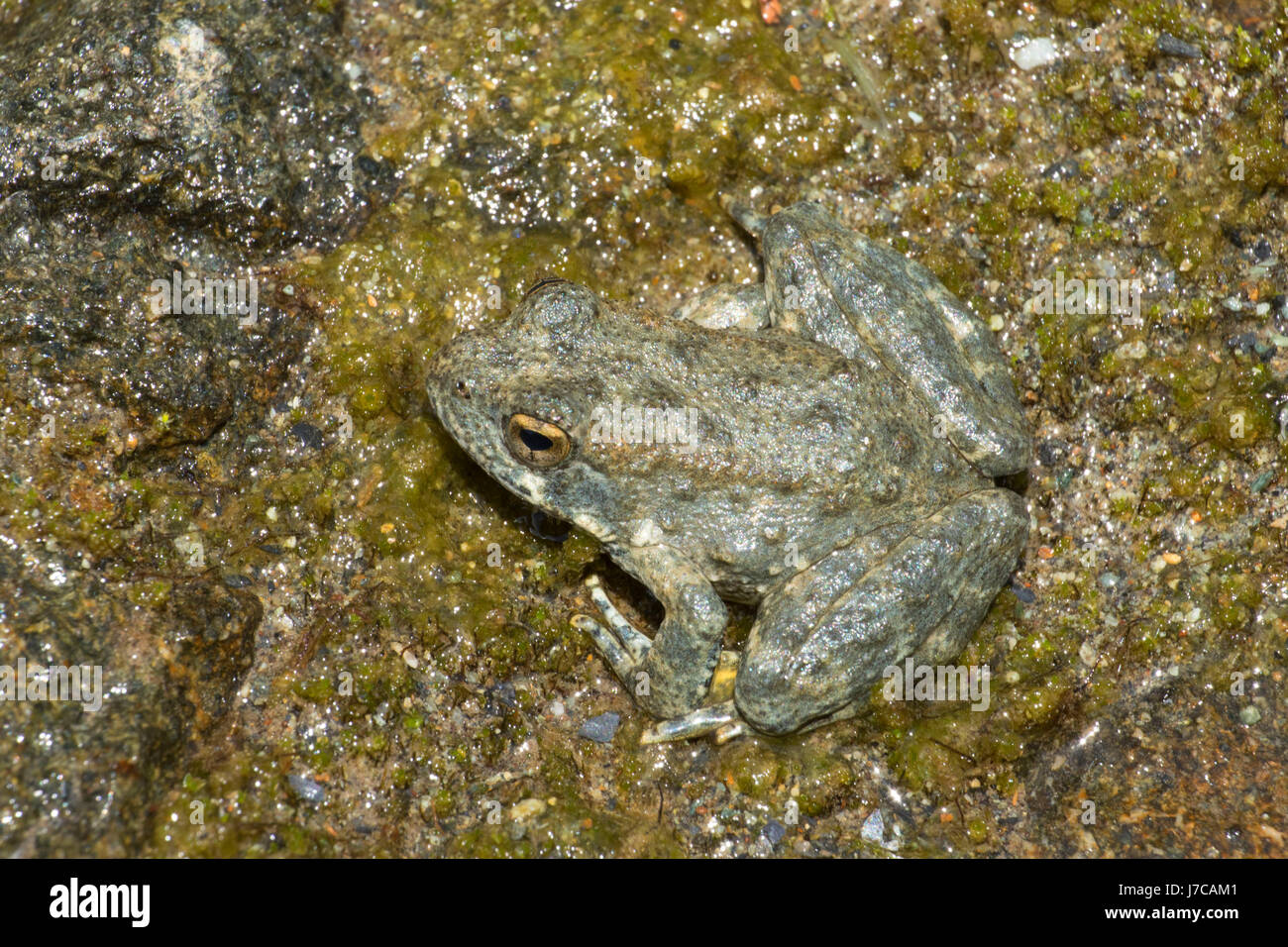 Foothill yellow-legged frog (Rana boylii), Smith River National Recreation Area, Smith Wild and Scenic River, Six Stock Photo