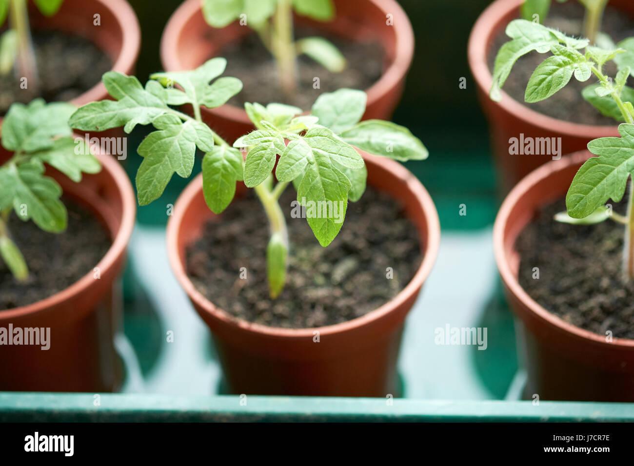gardener s delight tomato plant seedlings growing in plastic plant