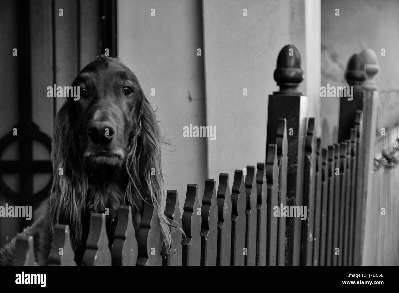 A dog portrait in black and white - Stock Image