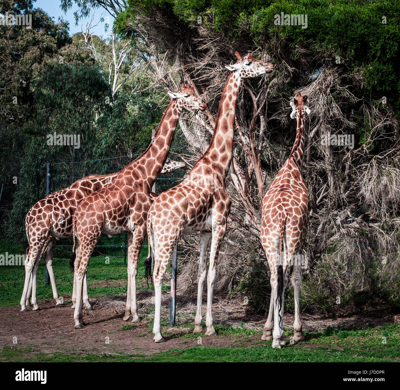Four Giraffes feeding on Acacia tree - Stock Image