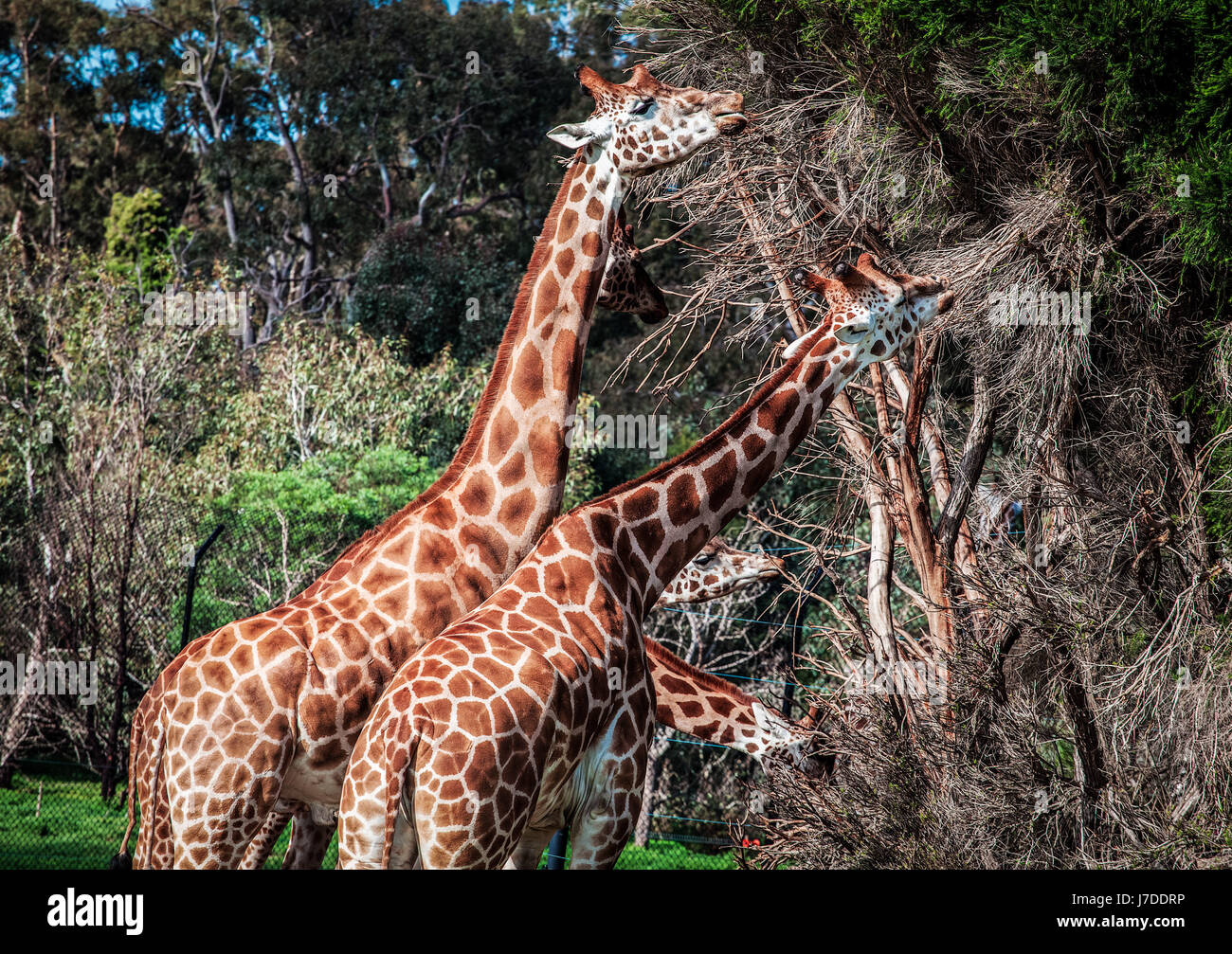 Giraffes feeding on acacia tree looking like four-headed creature - Stock Image