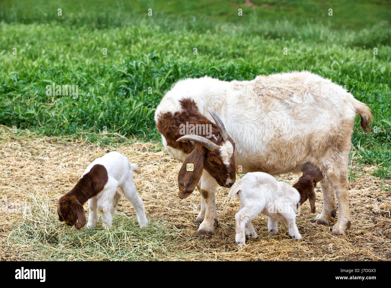 Mother Boer Goat 'Capra aegagrus hircus' with two day old kids,  nursing & feeding on alfalfa,  barnyard, - Stock Image