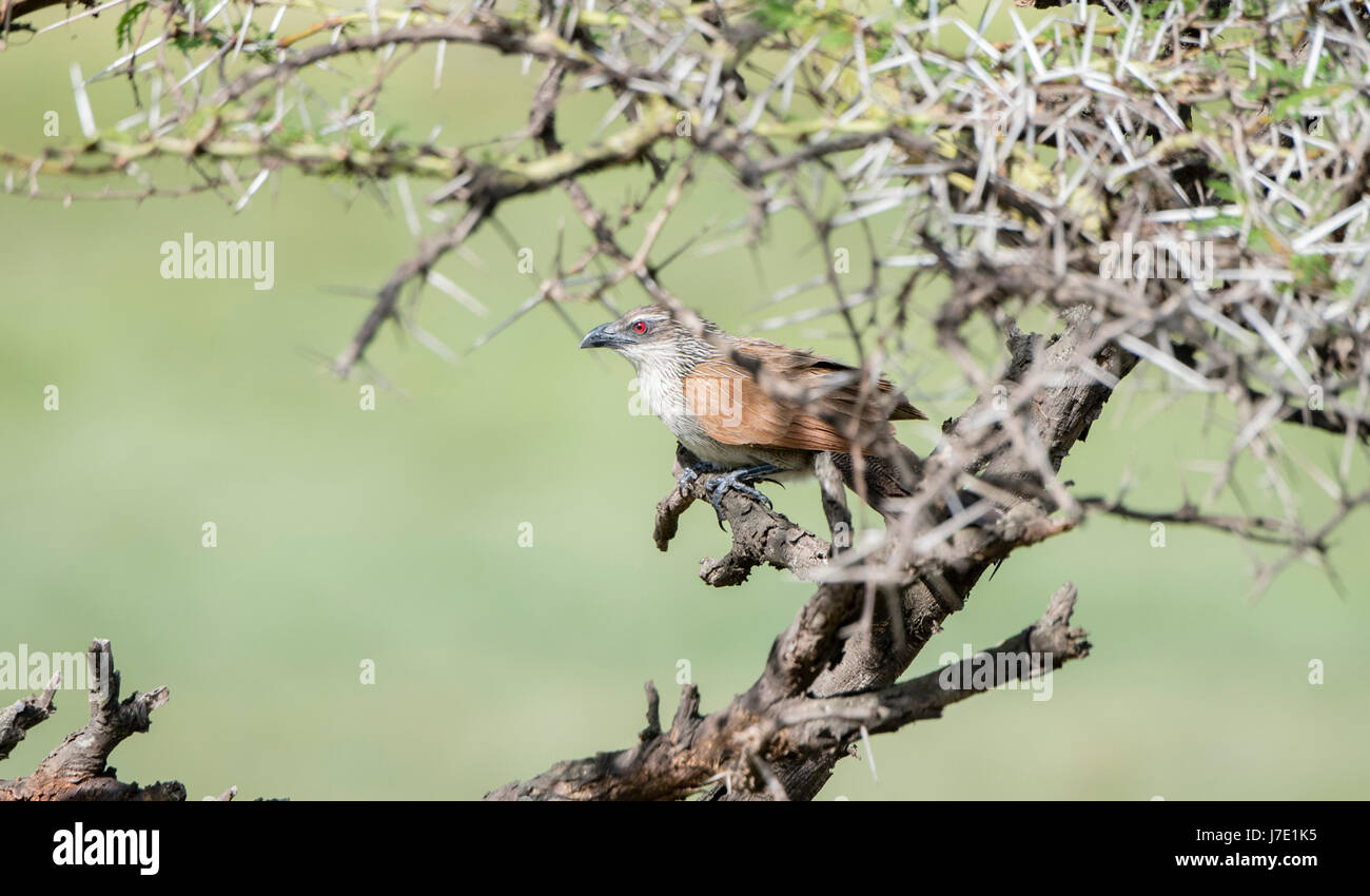 White-browed Coucal (Centropus superciliosus) Perched in a Tree in Northern Tanzania - Stock Image
