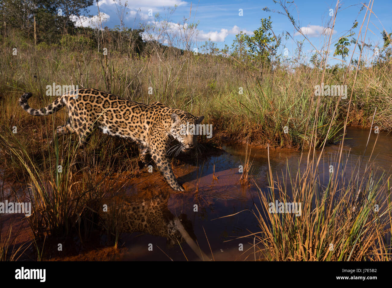 A Jaguar explores a water creek in the Brazilian Cerrado Stock Photo