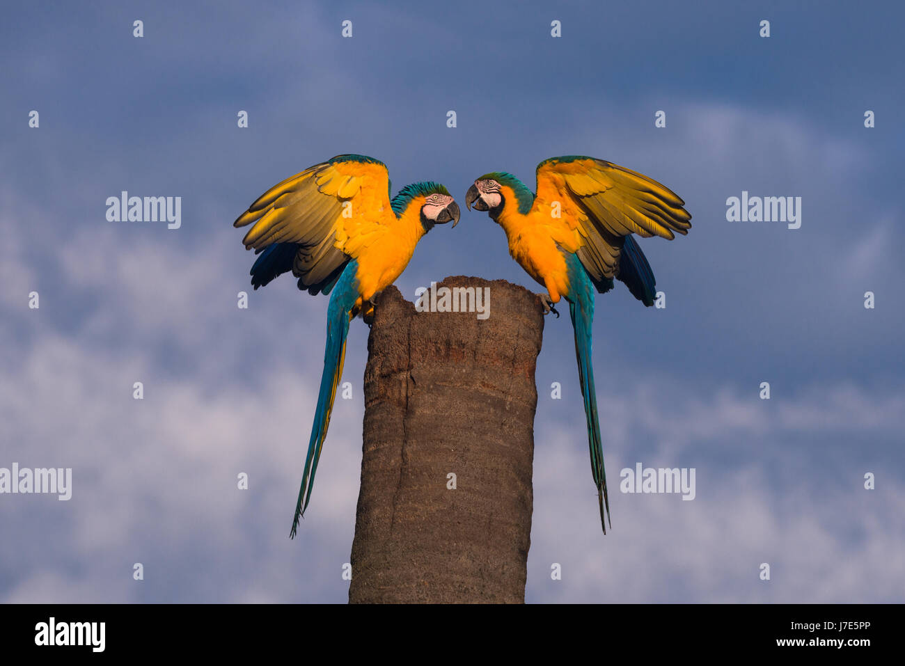 A pair of Blue-and-yellow Macaws on their nest tree Stock Photo