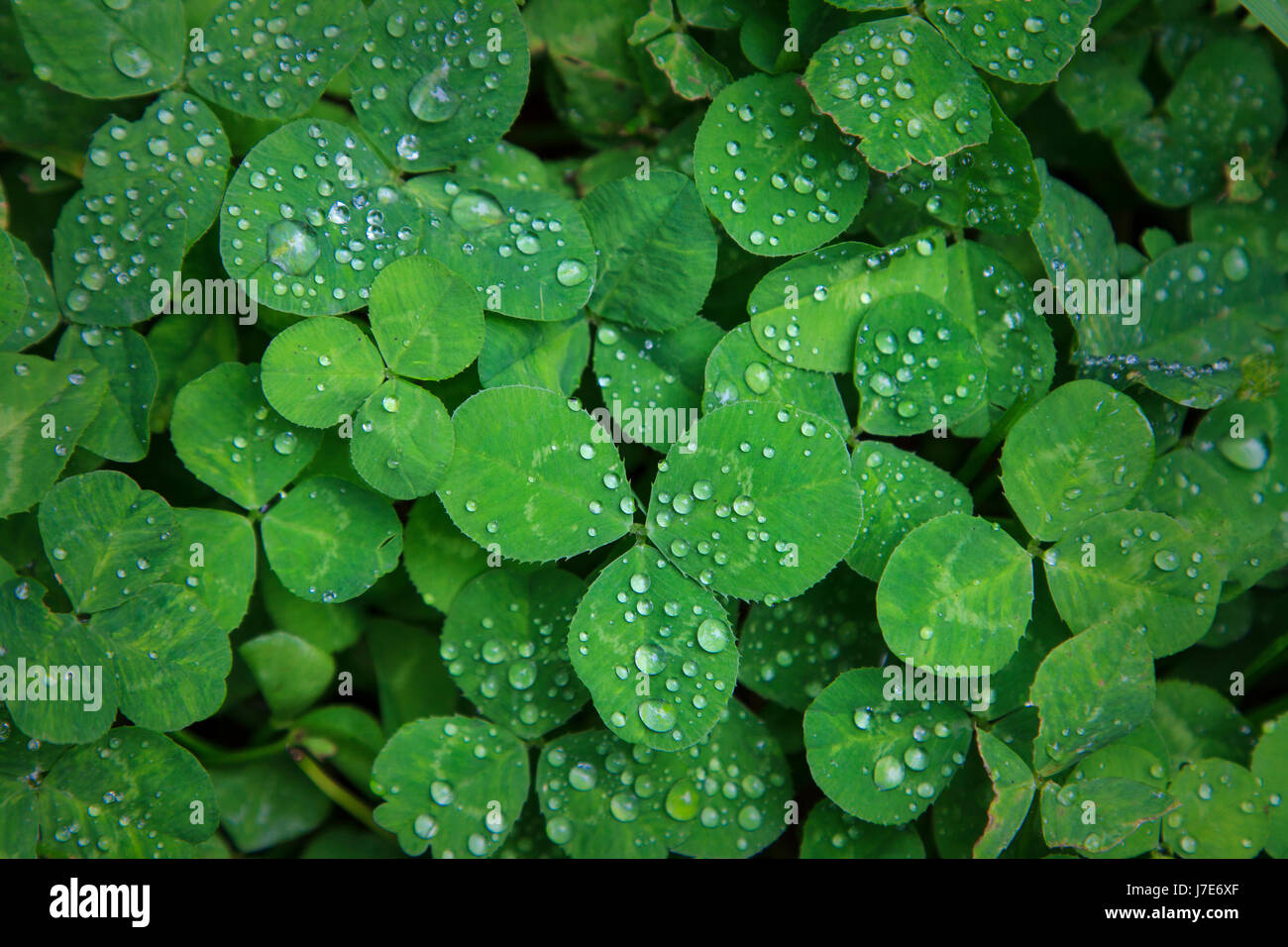 Rain drops on three leaf clover patch - Stock Image