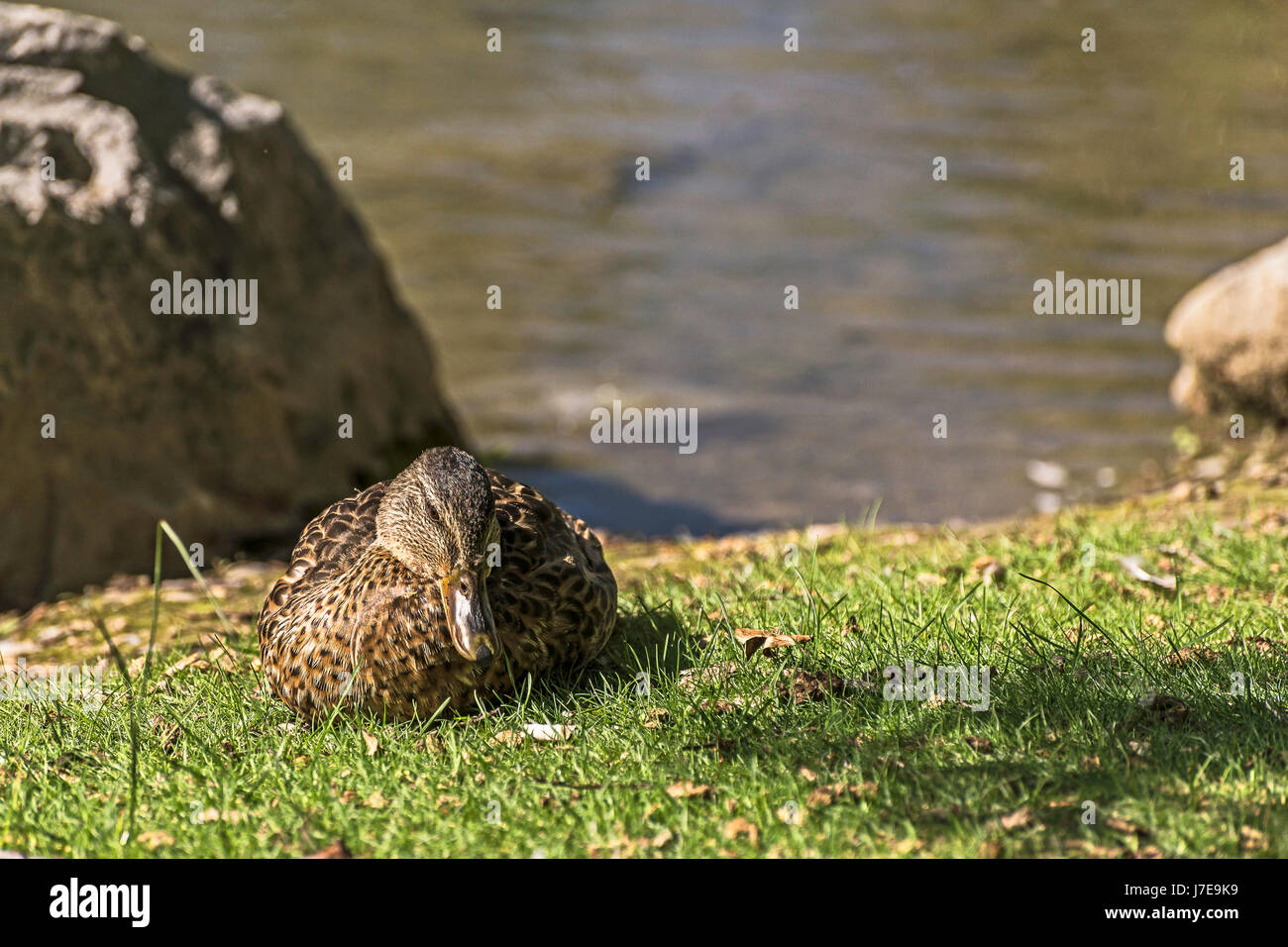 duck crouched on the bow river banks - Stock Image
