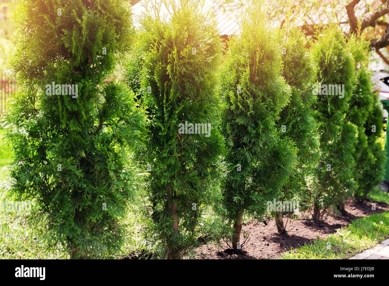 evergreen hedge of thuja trees - Stock Image