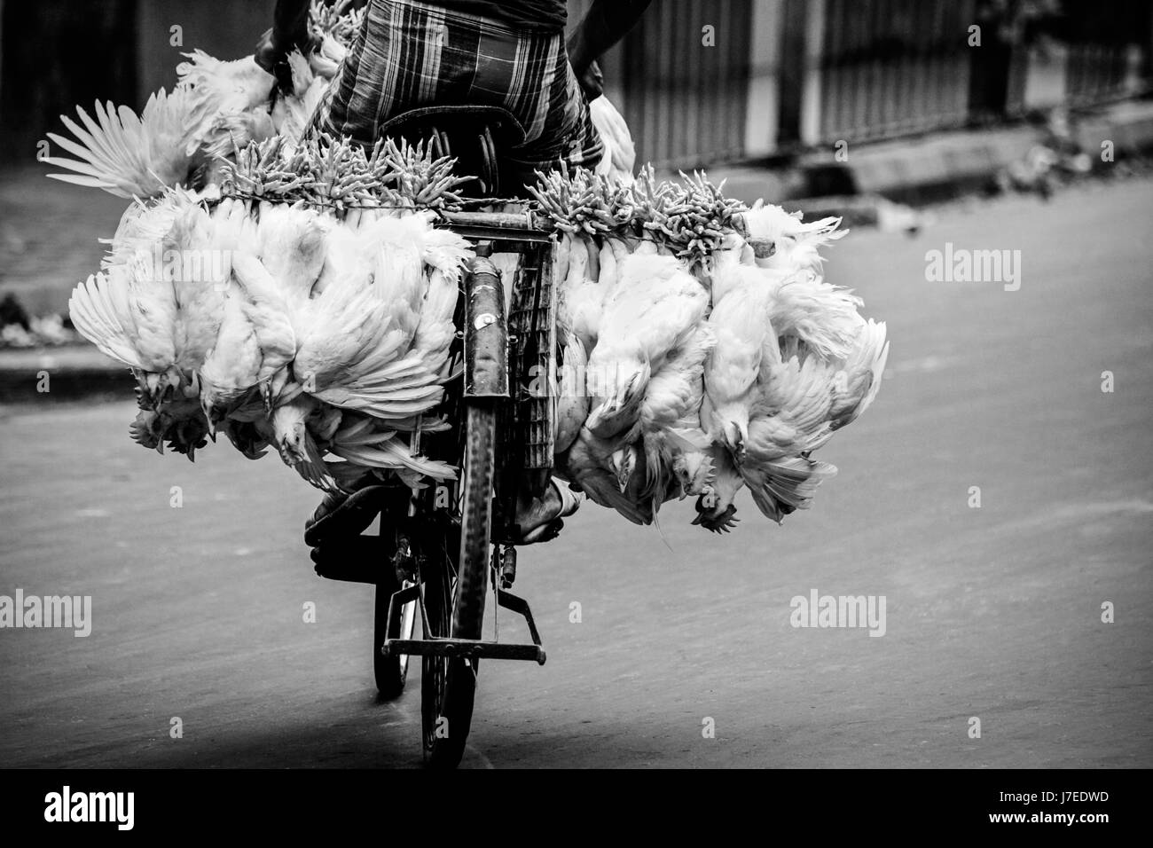 Gritty reportage in monochrome of Indian guy peddling bicycle on road in the city of Kolkata with live chickens - Stock Image