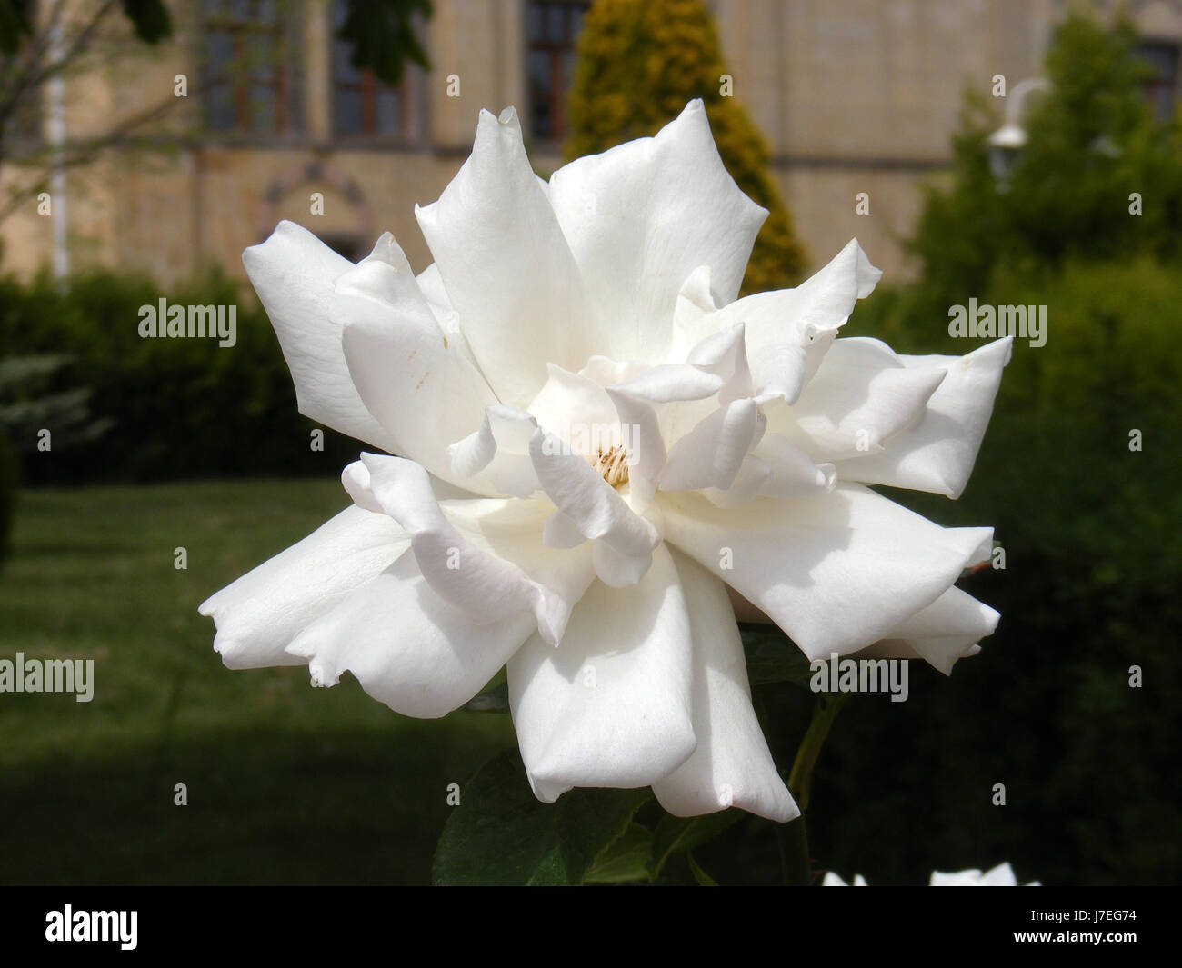 Pictures Of White Rose Flowers Pictures Of The Most Beautiful White