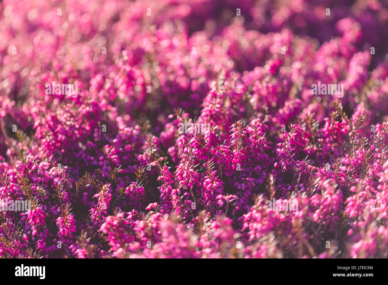 Heather Growing In Spring Stock Photos Heather Growing In Spring