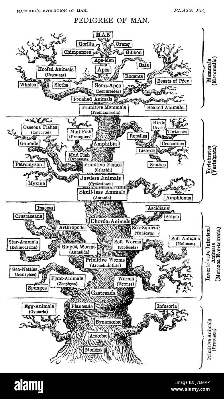 ERNST HAECKEL (1834-1919) German biologist and artist. The Tree of Life from his 1879 book The Evolution of Man - Stock Image