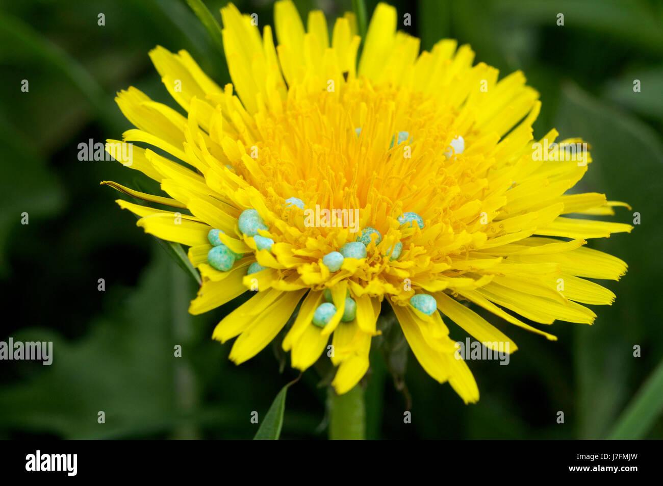 Blaukorn Stock Photos Blaukorn Stock Images Alamy