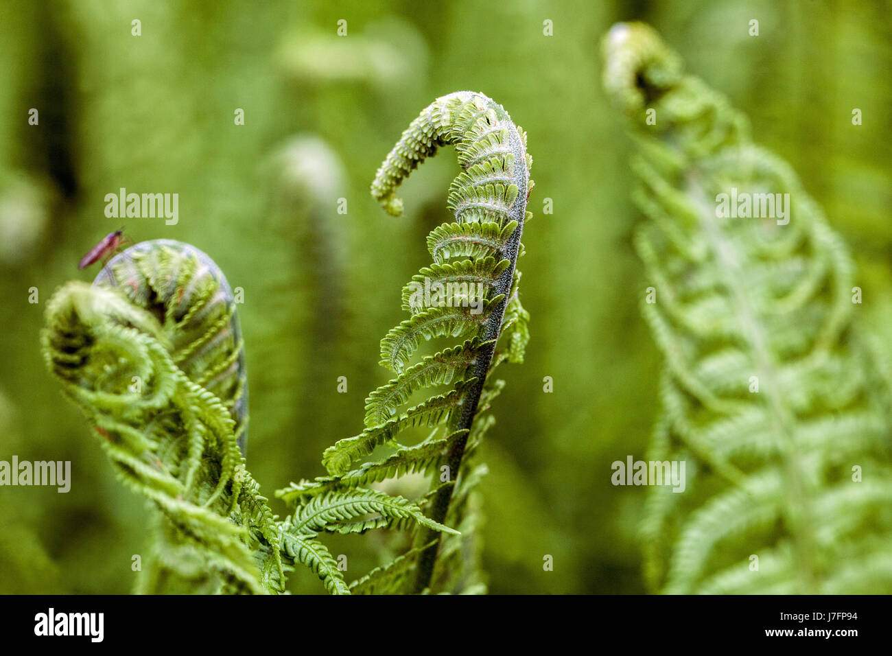 Ostrich fern Matteuccia struthiopteris fresh leaves - Stock Image