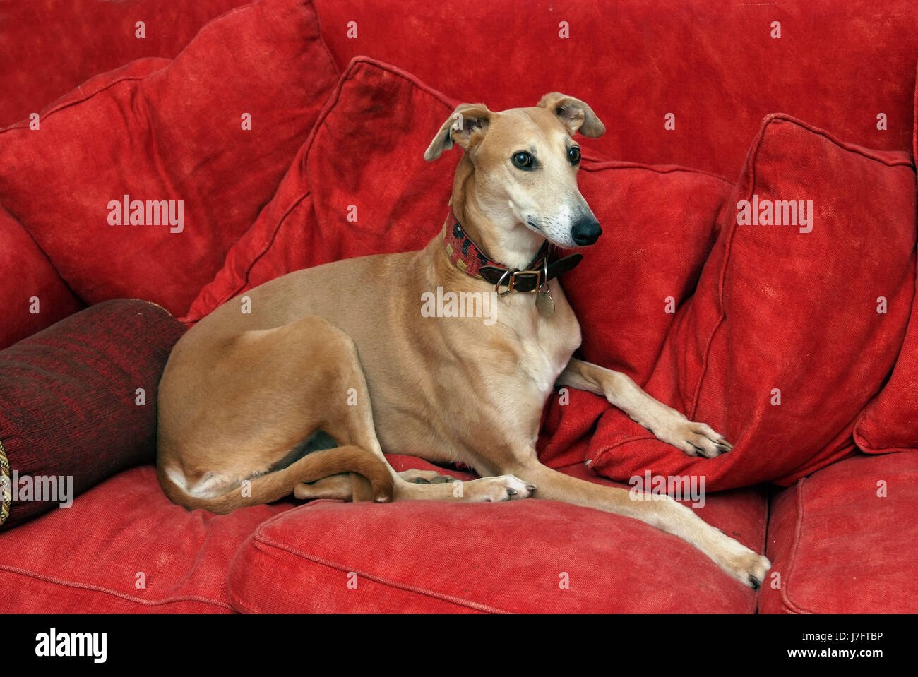 A whippet  lying on a red sofa amongst red cushions - Stock Image