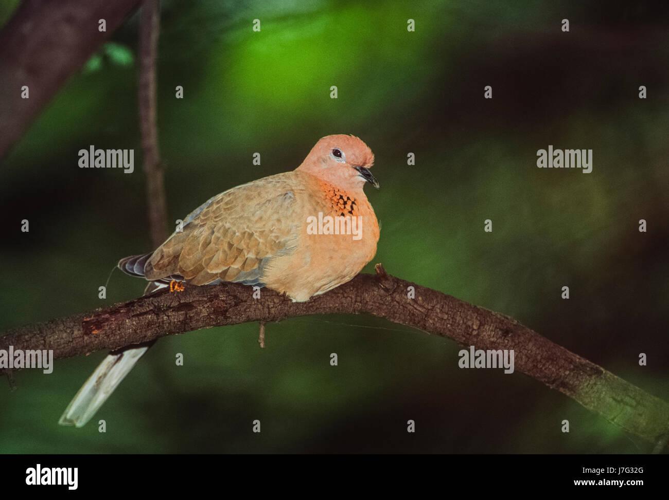 Laughing Dove, (Spilopelia senegalensis), Keoladeo Ghana National Park, Bharatpur, Rajasthan, India - Stock Image