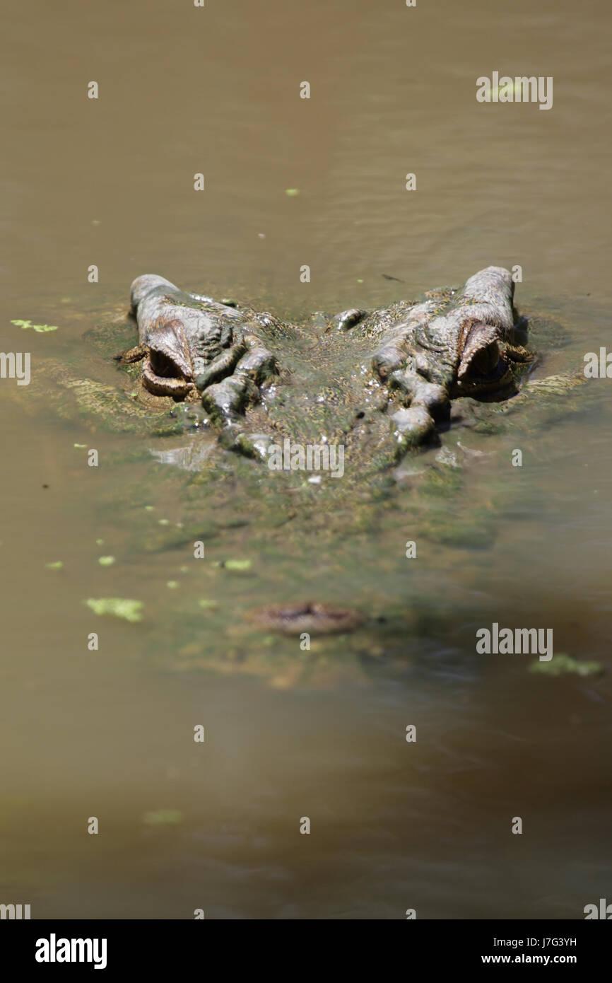 saltwater crocodile (crocodylus porosus) - Stock Image