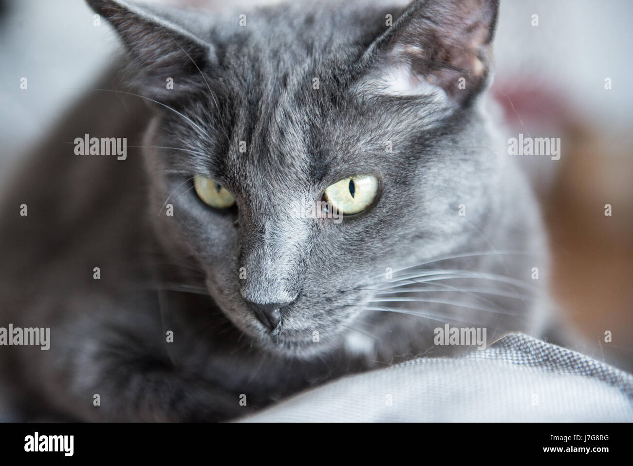 A domestic blue russian cat laze around the house couch. - Stock Image