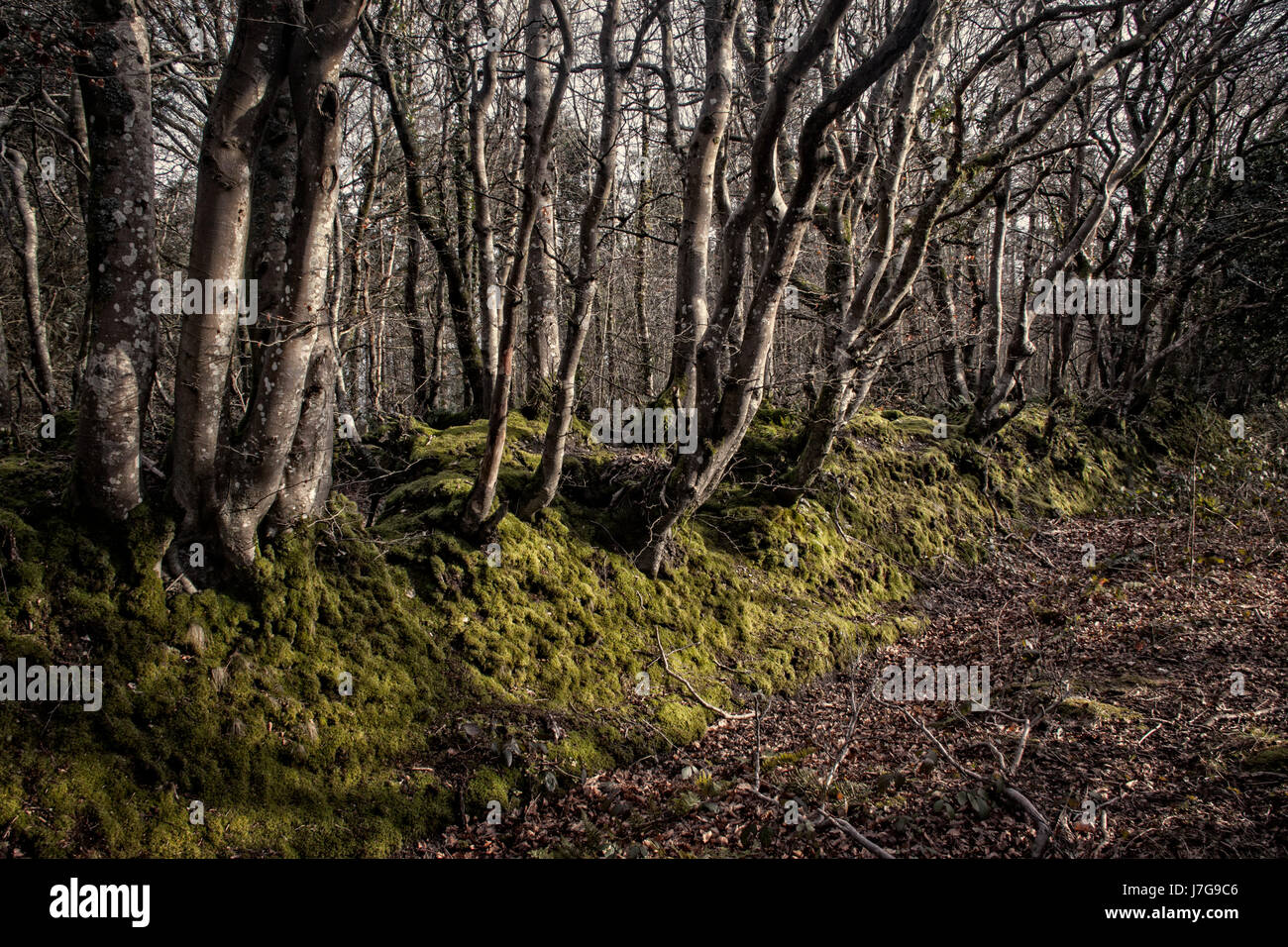 Enchanted woodland scene in muted colours, Mutters Moor above Sidmouth, Devon Stock Photo