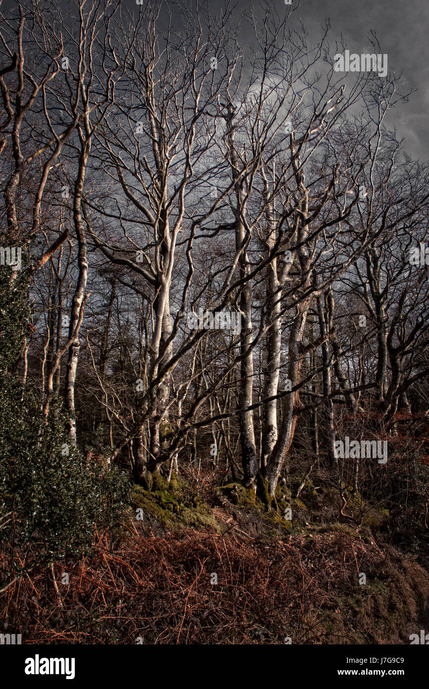 Enchanted woodland scene in muted colours, Mutters Moor above Sidmouth, Devon - Stock Image