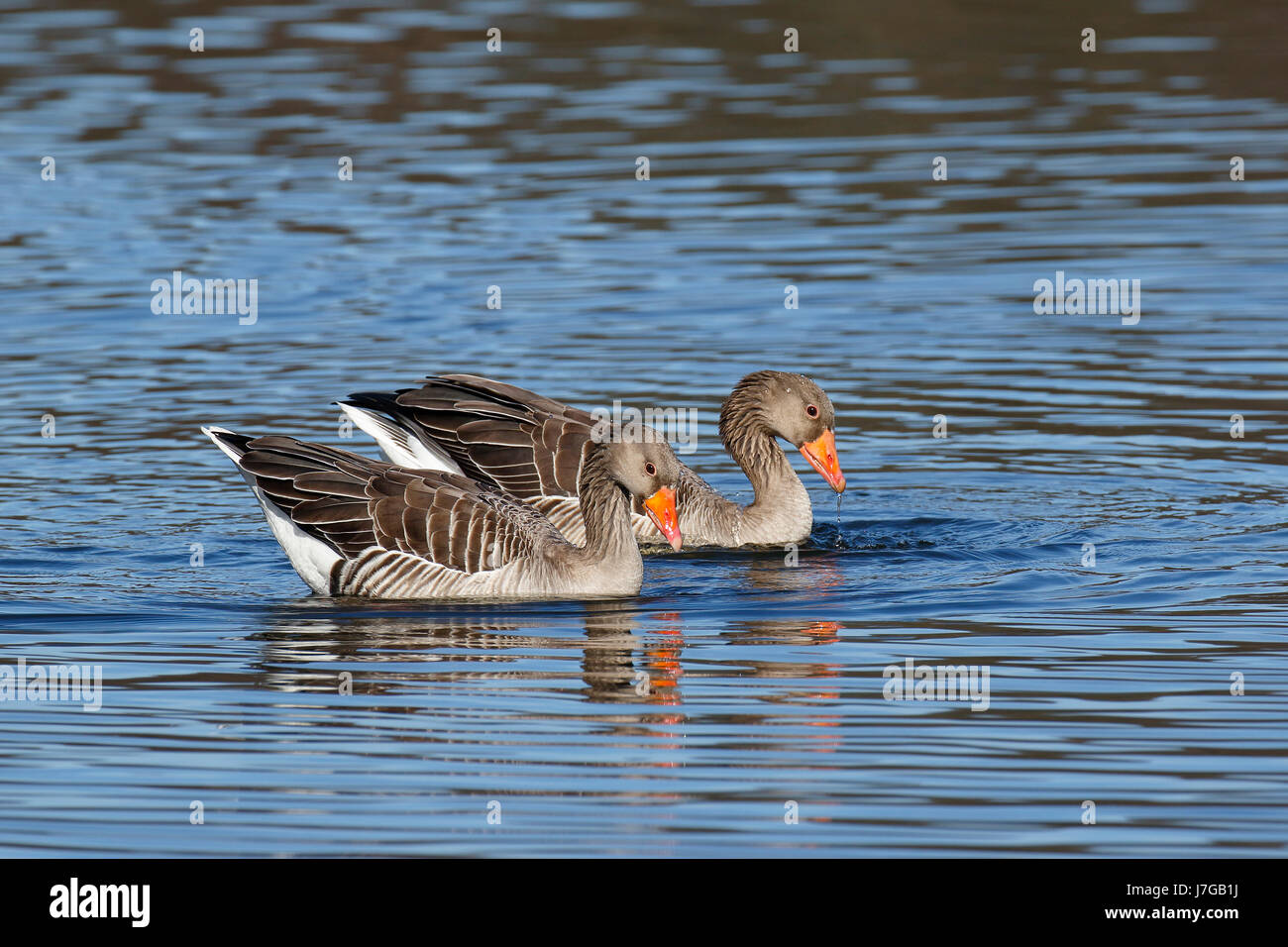 Courting Greylag gooses (Anser anser), animal couple swimming in the water, Hamburg, Germany - Stock Image