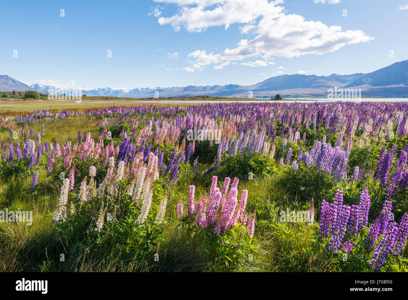 Purple large-leaved lupins (Lupinus polyphyllus), Lake Tekapo in front of Southern Alps, Canterbury, South Island, - Stock Image