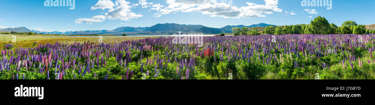 Purple large-leaved lupins (Lupinus polyphyllus), Lake Tekapo in front of Southern Alps, Canterbury, South Island, Stock Photo