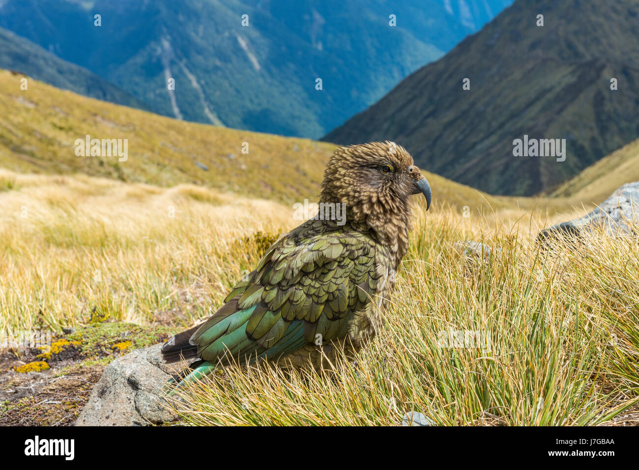 Mountain parrot, Kea (Nestor notabilis) in the mountains, Kepler Track, Fiordland National Park, South Island, New - Stock Image