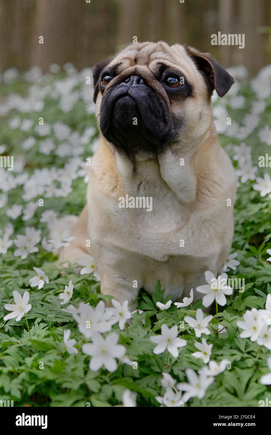 Pug sitting in meadow with wood anemones, Schleswig-Holstein, Germany Stock Photo