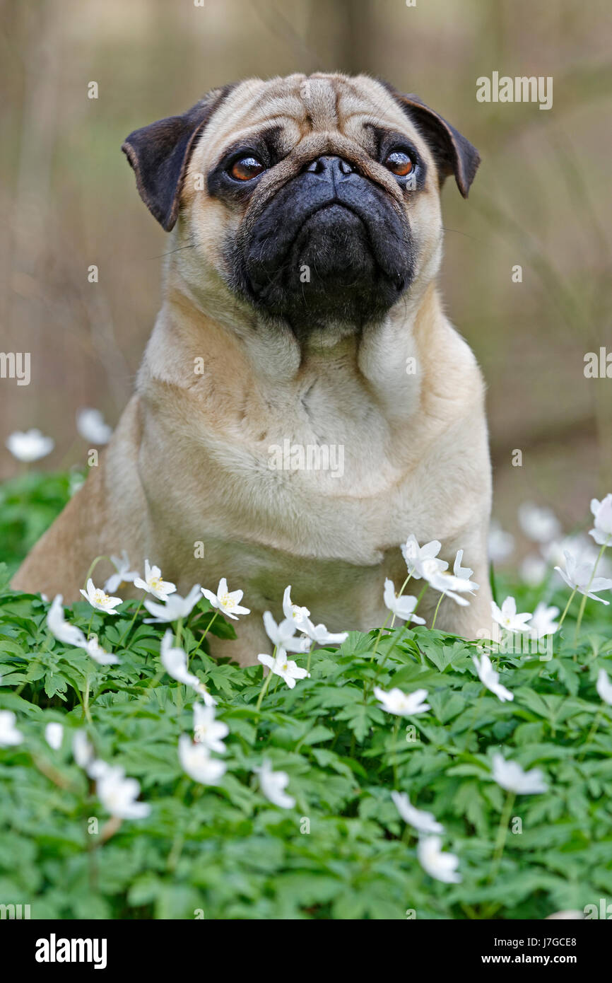 Pug sitting in meadow with wood anemones, Schleswig-Holstein, Germany - Stock Image