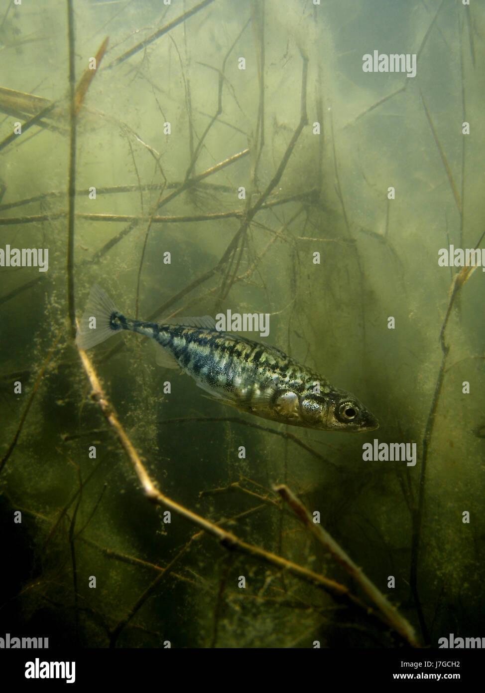 Nakedtail stickleback, Gasterosteus gymnurus, on estuarine environment. Portugal - Stock Image