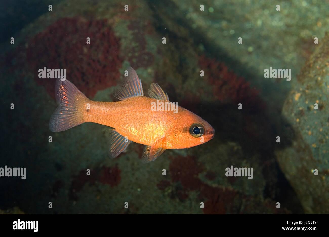 Cardinal fish, Apogon imberbis. Madeira, Portugal. - Stock Image