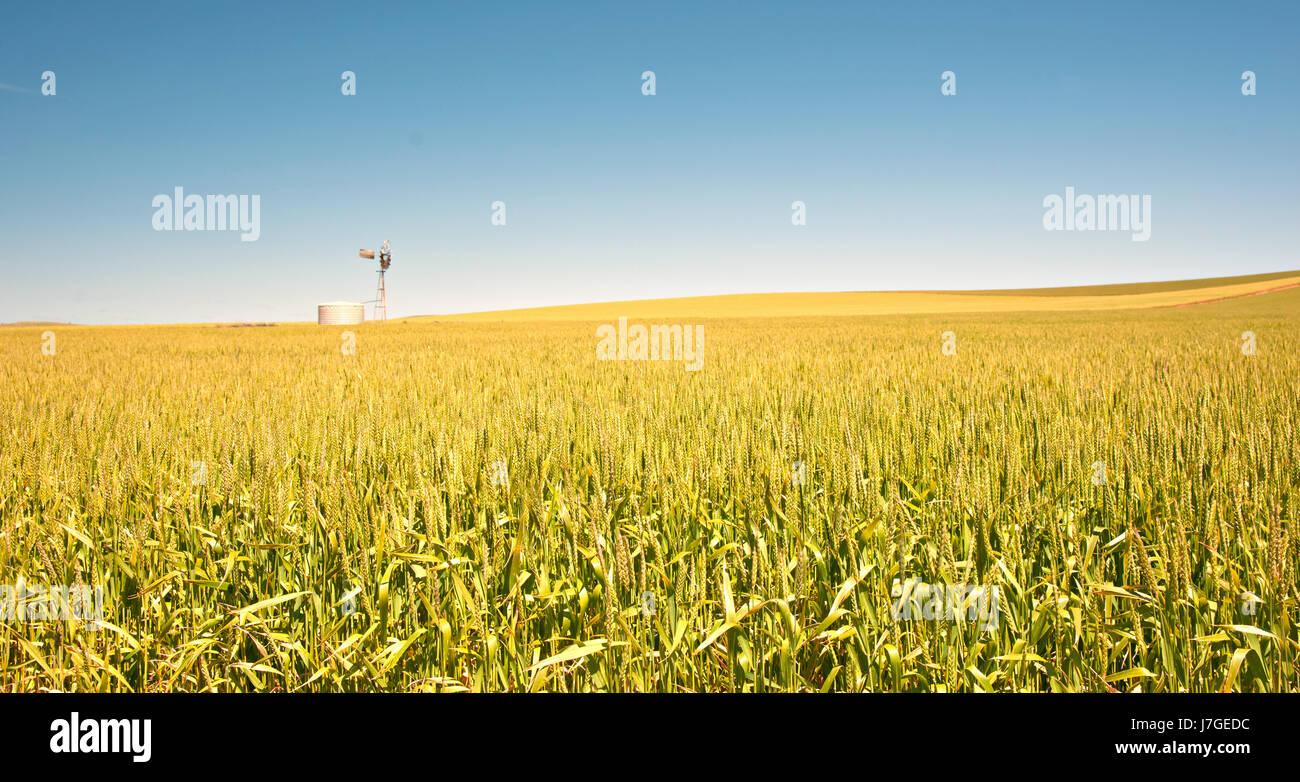agriculture farming australia wheat windmill farm barley country paddock - Stock Image