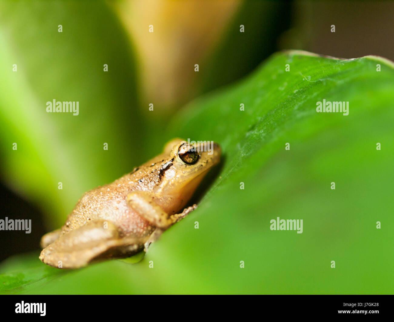 Common Tree Frog on the leaf - Hyla leucomystax - Stock Image