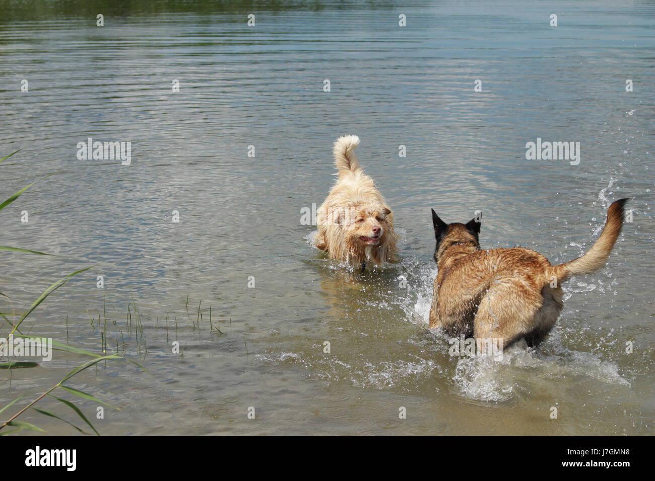Australian shepherd and Malinois shepherd who jump into the water - Stock Image